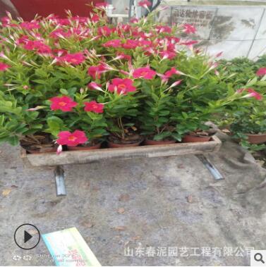飘香藤基地种植 飘香藤大量供应批发 棚架绿化墙体绿化