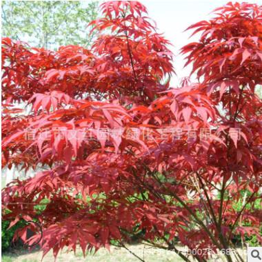 中国红枫树苗批发嫁接红枫树庭院观叶植物工程绿化苗木日本红枫苗