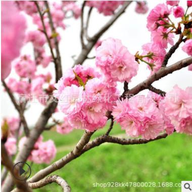 批发松月樱苗 绿化花木庭院观赏室内盆栽 气味芳香樱花苗