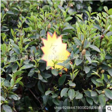 直销含笑树苗绿化花木园林工程气味芳香行道点缀规格齐全含笑树苗