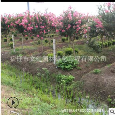 苗圃货源红花紫薇苗绿化花木庭院观赏盆景点缀气味芳香红花紫薇