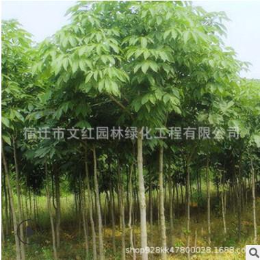 七叶树树苗绿化苗木规格齐全庭院种植四季常青七叶树小苗特价