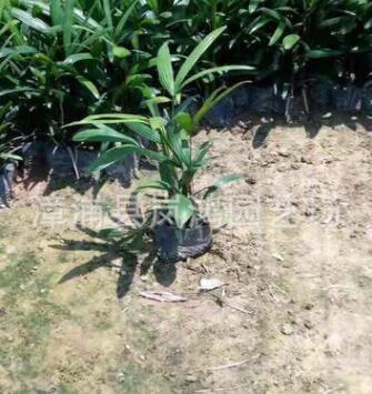 原产地小叶细叶棕竹