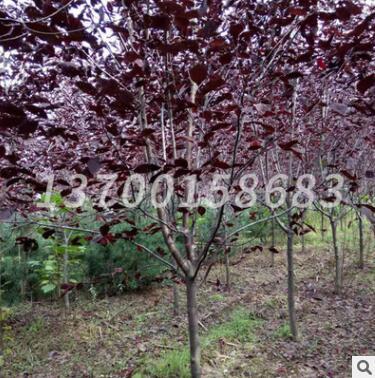 基地批发 紫叶稠李 乔木植物 道路绿化树木 庭院种植紫叶稠李苗木
