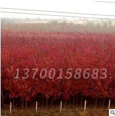 产地直销 红枫秋火焰 庭院风景树 美国红枫 秋火焰红枫树乔木