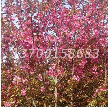 基地批发 王族海棠 乔木植物 北美海棠系列 城市行道树