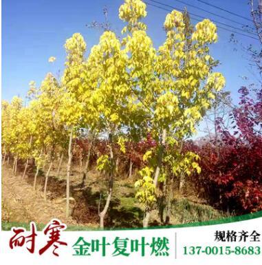 产地直销金叶复叶燃 庭院风景树 园林绿化苗木