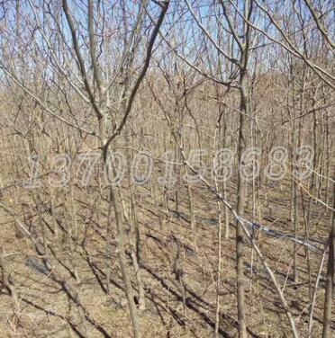 基地批发皂角树皂荚树 乔木植物道路绿化树木 庭院种植苗木皂角树