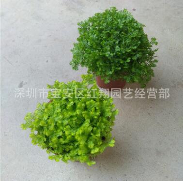 绿地球翠云草绿化蕨类绿墙植物雨林景观珊瑚蕨金丝雀翠云草