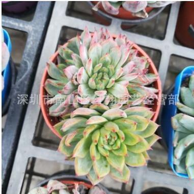 多肉植物红爪 广州芳村花卉盆栽基地直供 红爪石莲花