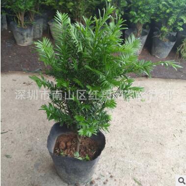 红豆杉盆栽基地 广州花卉基地直销红豆杉
