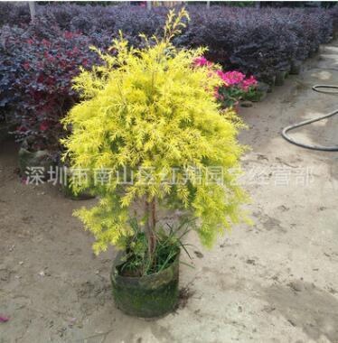 金丝柳黄金柳绿化乔木家庭盆栽造型盆景树黄金柳