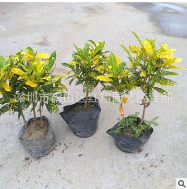 变叶木 室外园林工程湿地绿化苗木 黄洒金