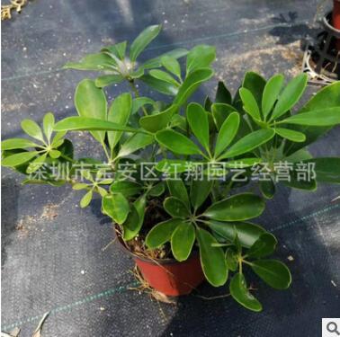 鸭脚木广州花卉盆栽基地直供室外绿化绿墙植物