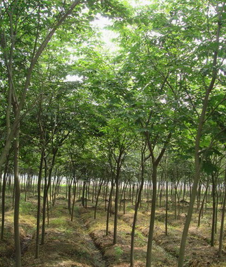 枫香、榉树