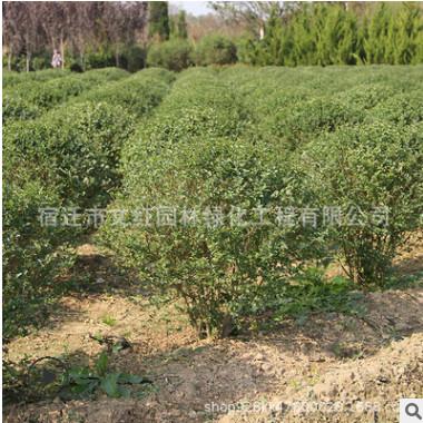 小叶女贞球批发园林绿化苗木常绿灌木 绿篱植物造型小叶女贞球苗