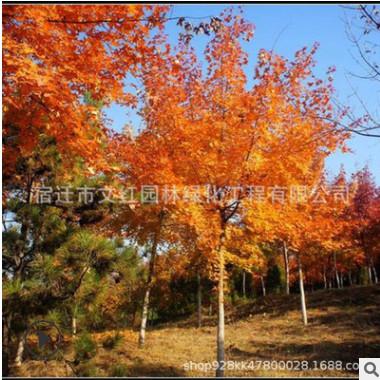 批发美国黄栌树苗 园林工程绿化彩色苗木 美国红栌树苗规格齐全