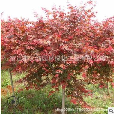 日本红枫树苗绿化苗木色块绿篱庭院观赏行道点缀量大从优红枫直销