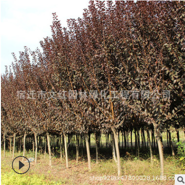 红叶李树苗批发工程绿化苗木色块绿篱庭院种植紫叶李小苗特价