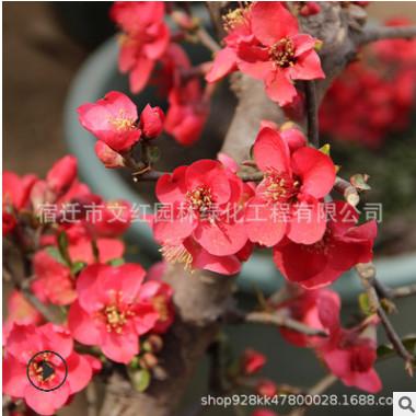 贴梗海棠小苗绿化花木庭院观赏气味芳香行道点缀垂丝海棠