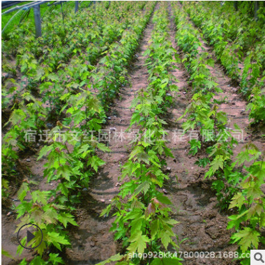 美国红枫树苗绿化苗木色块绿篱日本红枫庭院观赏行道点缀红枫小苗