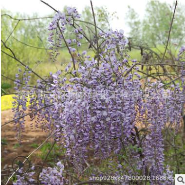 紫藤树苗基地批发墙体绿化藤本植物 围墙绿篱紫藤萝 多花紫藤花苗
