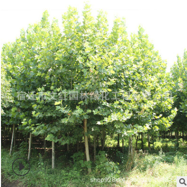 法桐树苗批发 园林绿化苗木法国梧桐树色块绿篱行道点缀泡桐树