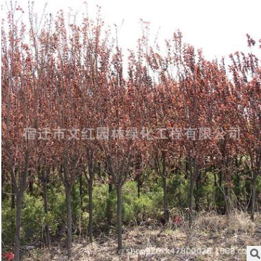 紫叶李树苗绿化苗木四季常青庭院种植行道点缀规格齐全紫叶李树苗