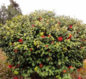 热卖湖南精品1米高茶花球 长期供应庭院绿化茶花球 价优量优