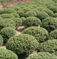 农户价供应 精品龟甲冬青球 工程常绿型苗木 价优实惠