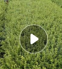 万义苗圃基地造型黑松批发 供应优质黑松树 观赏植物黑松价格