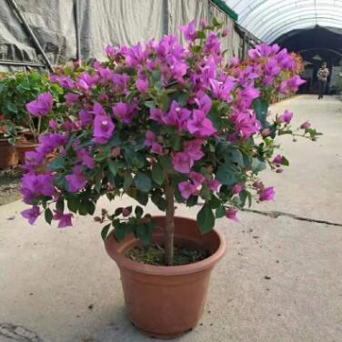 绿植盆栽 盆栽花卉 居家绿植 年宵花 紫色三角梅280#