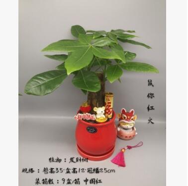 广州批发 绿植盆栽 居家绿植 精品盆栽 年宵花 鼠你红火