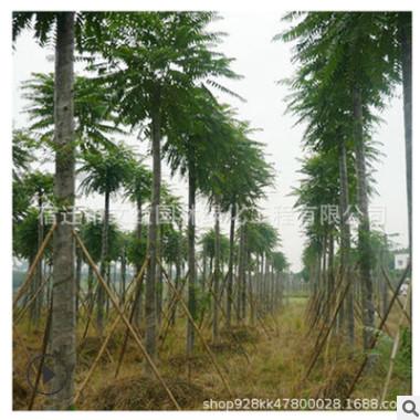 臭椿树苗批发园林绿化苗木色块绿篱行道点缀四季常青臭椿小苗