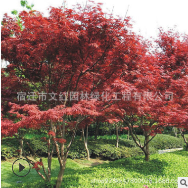 中国红枫树苗绿化苗木色块绿篱行道点缀庭院观赏量大从优中国红枫