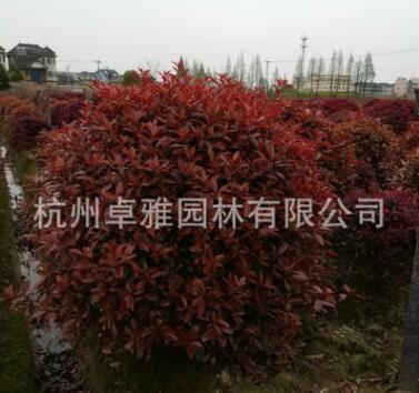 红叶石楠球(萧山毛球,萧山小苗.杯苗.工程用苗配送)