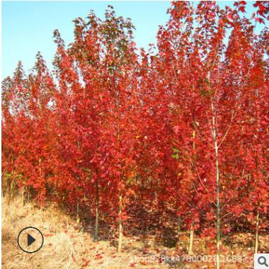 红枫树苗批发工程绿化花木美国红枫秋火焰 庭院风景中国红枫小苗