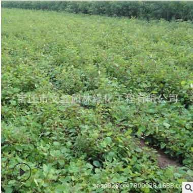 黄栌树苗绿化苗木色块绿篱庭院种植四季常青量大从优黄栌树苗直销