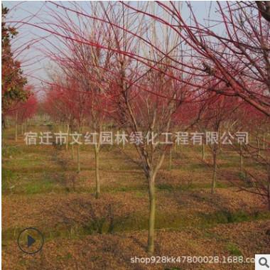 新品种赤枫苗低级批复赤枫树苗 园林绿化苗木美国红枫秋火焰树苗