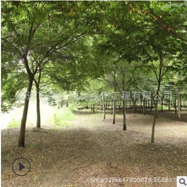 榉树树苗批发 工程绿化苗木行道风景树 庭院种植规格齐全四季常青