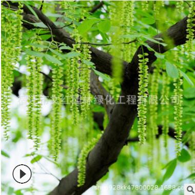 枫杨树苗批发园林绿化苗木景观行道点缀 耐水枫杨小树苗价格