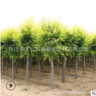 金叶榆树苗批发工程绿化苗木色块绿篱行道大树庭院观赏金叶榆苗