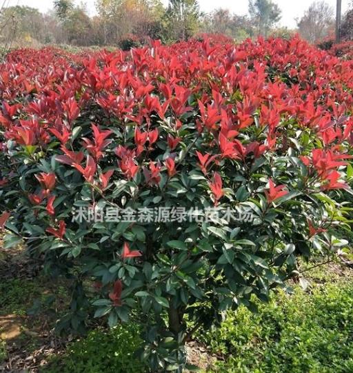 红叶石楠球产地 红叶石楠球图片 红叶石楠小苗价格