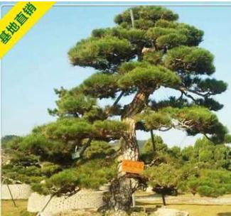 求购造型黑松 迎客松 湖南黑松绿化苗木 园林景观 自产自销 价优