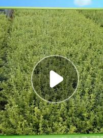 公园小区绿化观赏红豆杉 湖南景观苗木红豆杉 价格实惠
