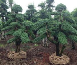 园林绿化苗木 造型小叶女贞出售 各规格小叶女贞球 批发供应 价优