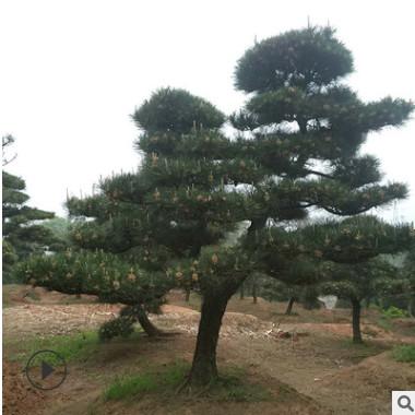 精品造型黑松 别墅庭院景观松 造型黑松 松园直供 量多优惠