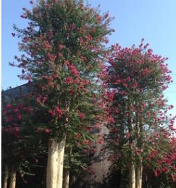精品造型紫薇树桩 农户直销批发 净化空气 量大优惠