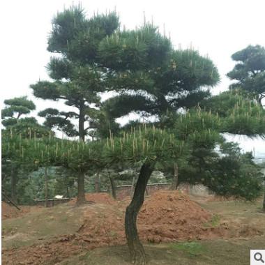 别墅园林绿化观赏苗木造型黑松 优质黑松树 规格齐全 货源充足