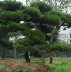 面向各地区出售黑松树 批发优质造型黑松 量大从优 优价出售